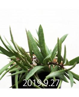 セロペギア コンラティ ES12990 9713