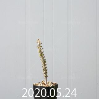 ラケナリア ラティメラエ 実生 10338