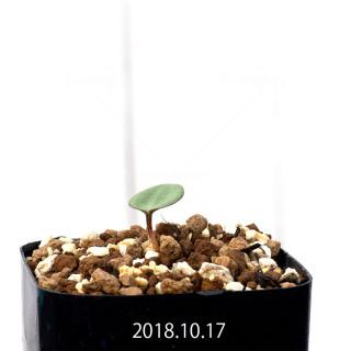 エリオスペルマム カペンセ 実生 11103