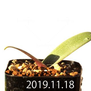 ラケナリア sp. JAA1352 実生 11206