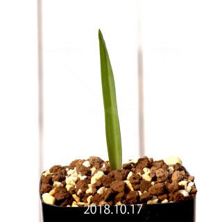 ラケナリア ムタビリス EQ467 実生 11422