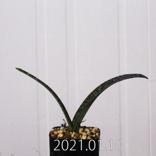 ラケナリア アロイデス クアドリカラー変種 実生 11700
