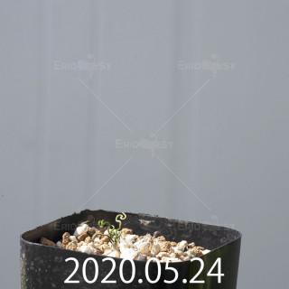 オーニソガラム トルツオスム DMC13646 子株 14593