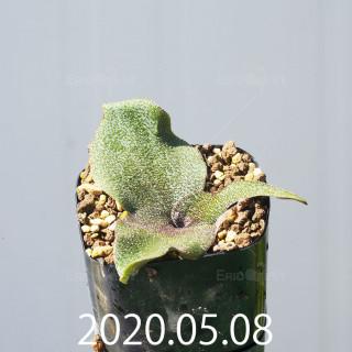 レデボウリア オヴァティフローラ スカブリダ変種 実生 14904