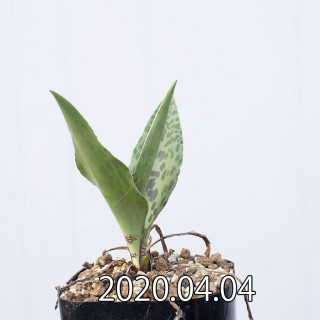 レデボウリア レボルタ EQ780 実生 15079