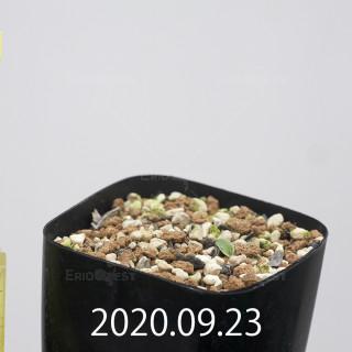 エリオスペルマム アペンデクラツム EQ807 実生 15720