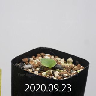 エリオスペルマム アペンデクラツム EQ807 実生 15722