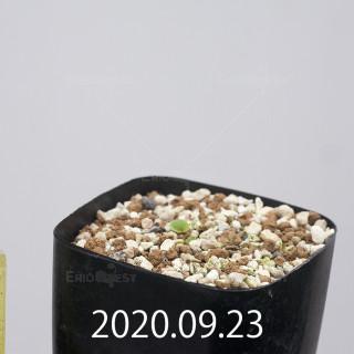エリオスペルマム アペンデクラツム EQ807 実生 15756