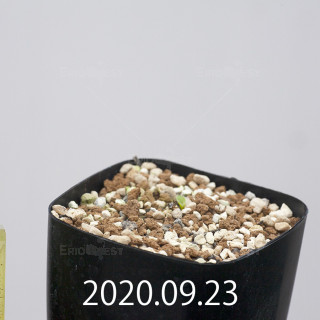 エリオスペルマム アペンデクラツム EQ807 実生 15757