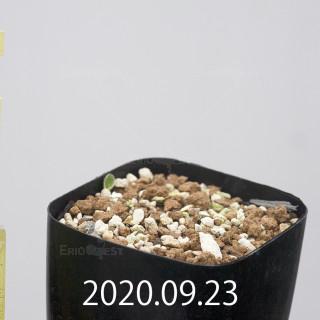 エリオスペルマム アペンデクラツム EQ807 実生 15760