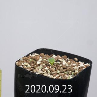 エリオスペルマム アペンデクラツム EQ807 実生 15801