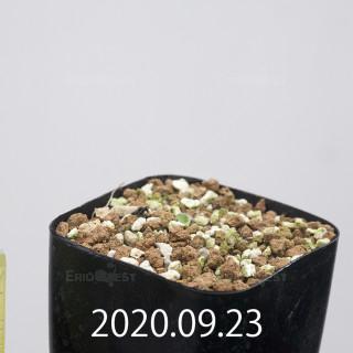 エリオスペルマム アペンデクラツム EQ807 実生 15808
