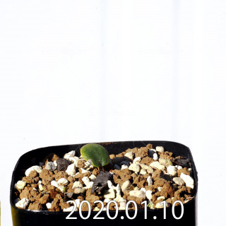 エリオスペルマム エリヌム EQ808 実生 16051