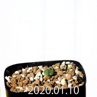 エリオスペルマム エリヌム EQ808 実生 16060