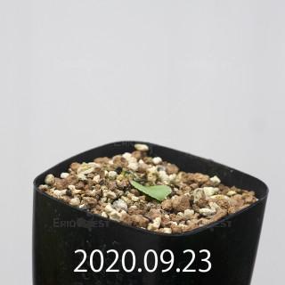 エリオスペルマム アペンデクラツム EQ807 実生 16099