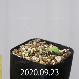 エリオスペルマム アペンデクラツム EQ807 実生 16151