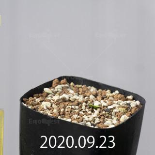 エリオスペルマム アペンデクラツム EQ807 実生 16164