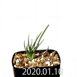 ラペイロージア シレノイデス EQ706 実生 17202