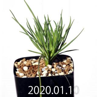 ラペイロージア シレノイデス EQ706 実生 17207