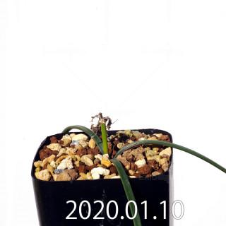 ラケナリア コリンボーサ EQ441 子株 17260