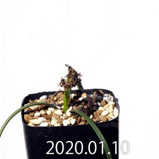 ラケナリア コリンボーサ EQ441 子株 17274