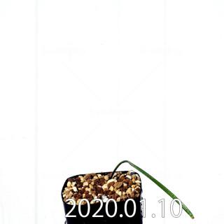 ラケナリア ウニフォリア ウニフォリア変種 実生 17502