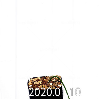 ラケナリア ウニフォリア ウニフォリア変種 実生 17509