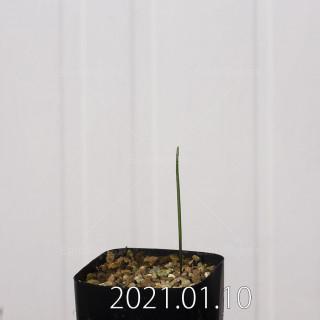 ラケナリア アロイデス クアドリカラー変種 実生 17633