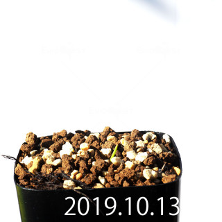 ラケナリア コリンボーサ EQ453 子株 17890