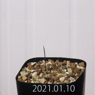 ラケナリア コリンボーサ EQ453 子株 17895