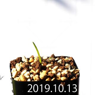 ラケナリア コリンボーサ EQ453 子株 17900
