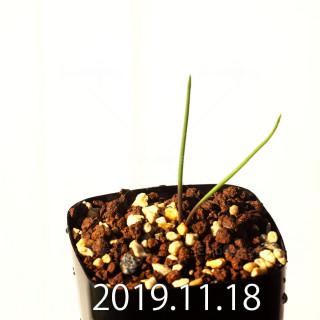 ラケナリア メディアナ DMC10319 子株 18764