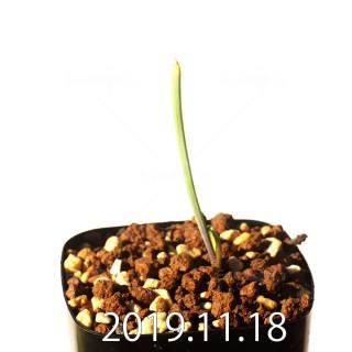 ラケナリア メディアナ DMC10319 子株 18767