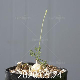 オーニソガラム トルツオスム DMC13646 子株 19959