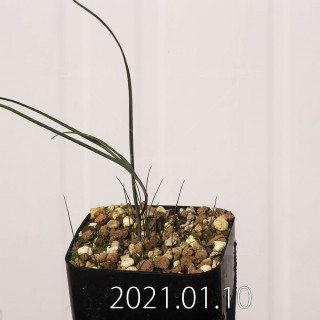 アンドロキンビウム ドレゲイ EQ885 実生 20206
