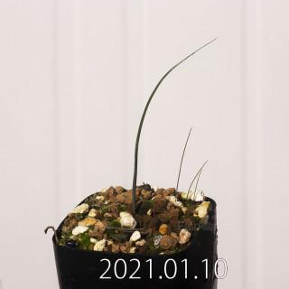 アンドロキンビウム ドレゲイ EQ885 実生 20217