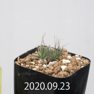オーニソガラム サルディエニー ES16055 子株 20765