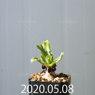 レデボウリア コンカラー DMC10146 子株 20877