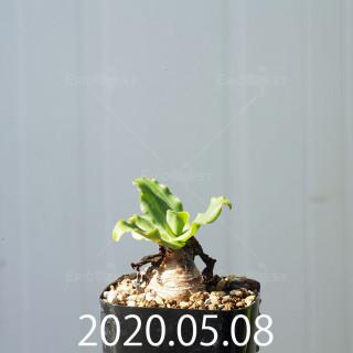 レデボウリア コンカラー DMC10146 子株 20887