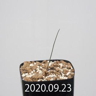 ドリミア イントリカータ ES21689 実生 21223