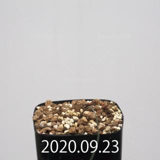 ドリミア イントリカータ ES21689 実生 21229