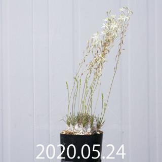 オーニソガラム sp.  子株 4016