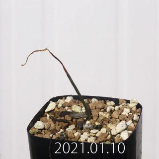 ラケナリア コリンボーサ EQ453 実生 8388