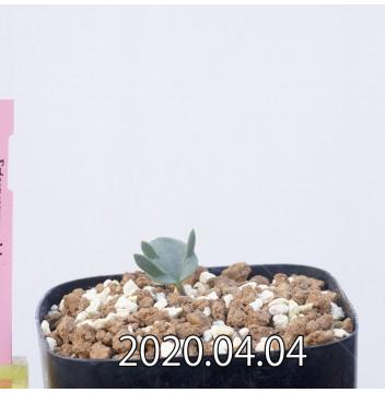 Eriospermum alcicorne EQ305 Seedling 12893