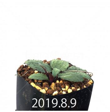 Drimiopsis sp. EQ496 Offset 8840