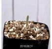 Albuca dilucula Seedling 10373
