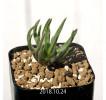 Bulbine margarethae Seedling 11402