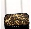 Gethyllis barkerae GS4868 Seedling 11859