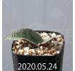 Resnova megaphylla Seedling 13997