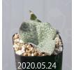 Resnova megaphylla Seedling 14003